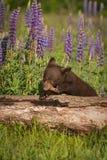 黑熊美洲Cub的熊属类在日志嚼 免版税图库摄影