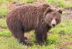 黑熊黄石国家公园 库存照片