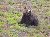 黑熊黄石国家公园 免版税库存照片