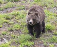 黑熊黄石国家公园 免版税库存图片