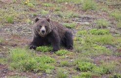 黑熊黄石国家公园 库存图片