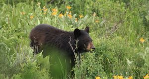 黑熊 库存照片