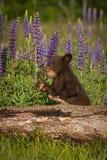 黑熊Cub熊属类美洲的举行羽扇豆 库存图片