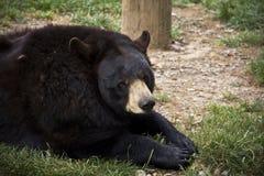 黑熊Lounging 库存照片