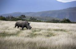 黑犀与垫铁的黑犀属bicornis为保护离开了免受偷猎 库存图片