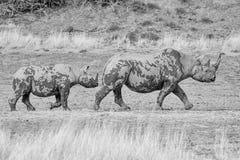 黑犀母亲和小牛 免版税库存图片