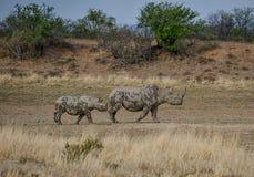 黑犀母亲和小牛 免版税库存照片