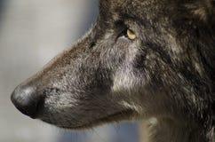 黑狼 免版税库存图片