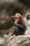 黑猩猩一点 库存照片