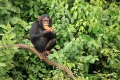 黑猩猩乌干达 免版税图库摄影