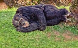 黑猩猩休息 免版税库存照片