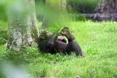 黑猩猩休息 库存图片