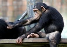 黑猩猩坐金属长凳在动物园在吉隆坡 免版税库存照片