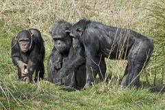黑猩猩平底锅穴居人 图库摄影