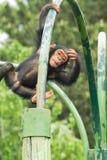 黑猩猩年轻人 免版税图库摄影