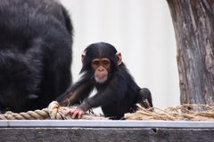 黑猩猩年轻人 免版税库存照片