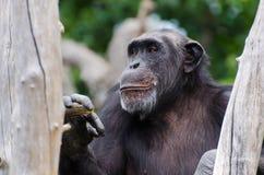 黑猩猩微笑 免版税库存照片