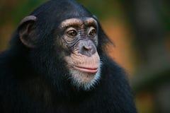 黑猩猩纵向 免版税库存照片