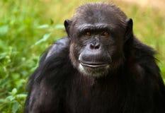 黑猩猩纵向 免版税库存图片