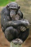 黑猩猩纵向 库存照片
