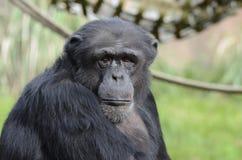 黑猩猩雨果 免版税库存图片
