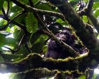 黑猩猩, Kibale森林,乌干达 免版税图库摄影
