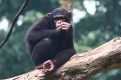 黑猩猩 图库摄影