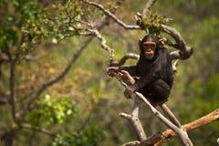 黑猩猩 免版税图库摄影