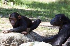 黑猩猩 库存照片