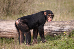 黑猩猩 免版税库存照片