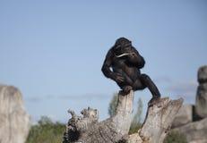 黑猩猩ii 免版税库存图片