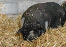 黑猪在秸杆在 免版税库存图片