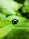 黑甲虫 图库摄影