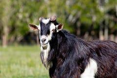 黑白公螺柱大型装配架山羊特写镜头  免版税库存照片