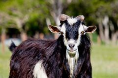 黑白公螺柱大型装配架山羊特写镜头  免版税图库摄影