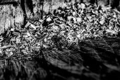 黑白关闭与锯木屑的一个老树桩从 免版税库存照片