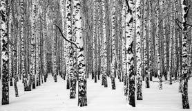 黑白冬天多雪的桦树 免版税库存照片