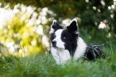黑白博德牧羊犬充满活力的画象  库存图片