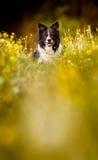 -黑白博德牧羊犬-说谎在黄色开花的毛茛的草甸的狗的画象 库存照片