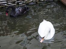 黑白天鹅 免版税库存图片