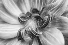 黑白宏指令弯曲的花瓣 免版税库存图片
