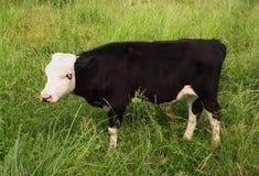 黑白小牛在草甸吃草 免版税库存图片