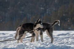黑白小狗西伯利亚爱斯基摩人狗一坦率的搞笑照片  免版税库存照片