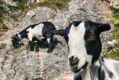 黑白山羊孩子 免版税库存图片