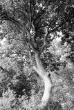 黑白弯曲的树 免版税库存照片