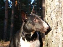 黑白杂种犬纵向 免版税库存图片