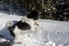 黑白标准长卷毛狗在Snowbank 库存图片