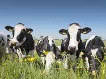 黑白母牛受到接近黄色春天花在荷兰绿色象草的草甸蓝天在荷兰 免版税库存照片