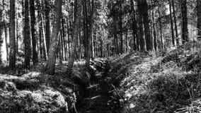 黑白深刻的老杉树森林的背景 免版税库存照片