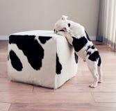 黑白牛头犬小狗在母牛皮无背长椅倾斜 免版税库存照片